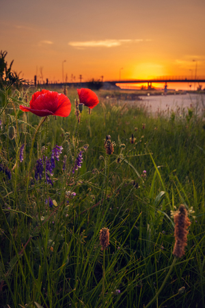 Group of poppies near the road in a morning with a beautiful sunrise