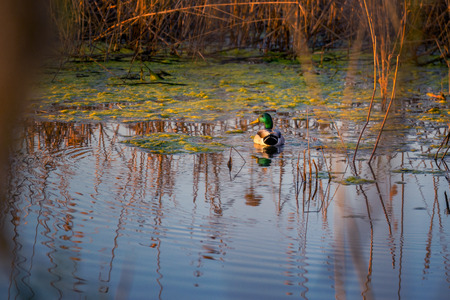 Male big duck with beautiful plumage colors (Anas platyrhynchos) on a lake in Romania shot during springtime
