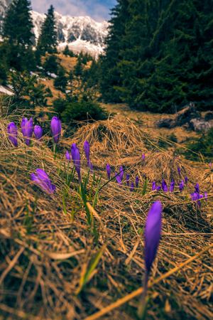 Detail of a vibrant colored crocus flowers field in the mountains against a snow covered mountain