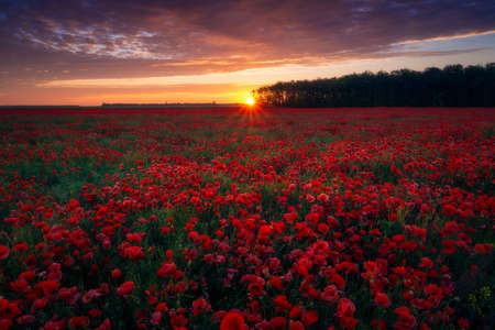 Beautiful sunrise sunset seen from an amazing poppy field located at the edge of a forest with a beautiful colored cloudy sky 스톡 콘텐츠