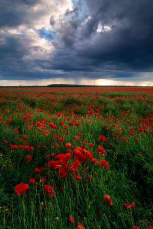 Storm clouds with heavy rain seen in a poppy field on a windy day with a dramatic sky 스톡 콘텐츠