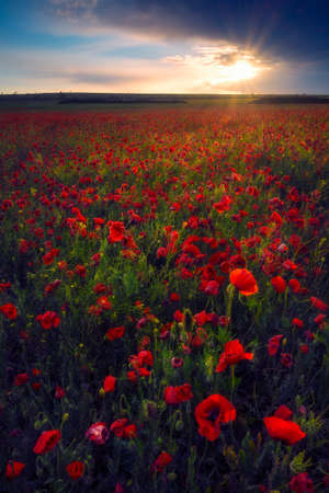 Beautiful sunrise sunset after storm with sunbeam from the clouds in a poppy field