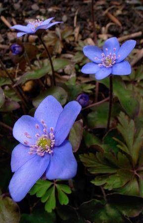 Hepatica nobilis, close up of blue blossoms of liverleaf