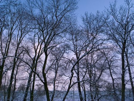 Trees of a grove in winter covered with snow