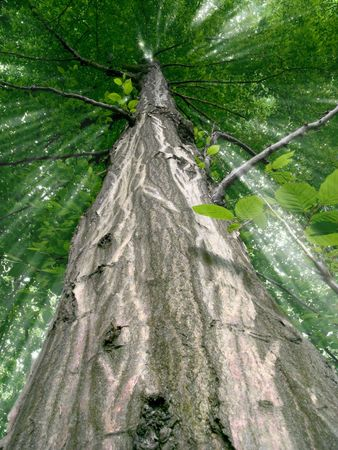 Low angle view of a tree with sunlight shining through its leaves photo