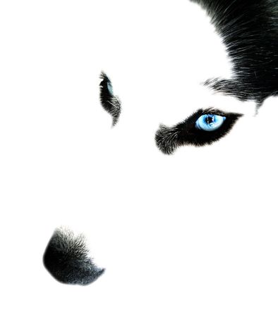 Close-up of huskys face with ice-blue eyes on white