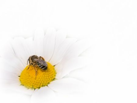 bee on a white blossom of a marguerite on white background