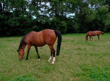 Two horses out at feed on a meadow Stock Photo
