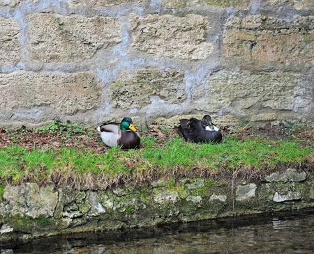 Couple Of Mallard Ducks sitting in front of a brickwall photo