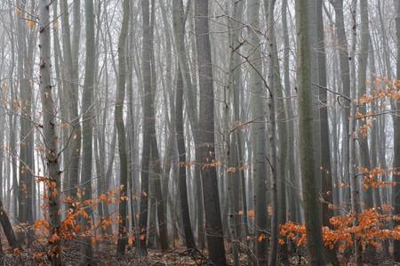 Misty beech tree forest in november