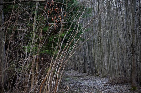 Forest track in early springtime - beeches, birches and spruces Stock Photo