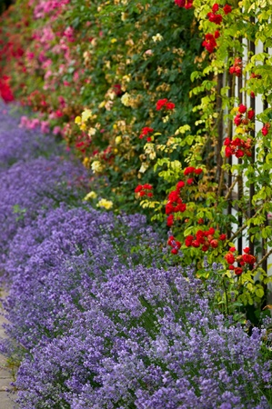 Flower bed of lavender and a colorful composition of roses