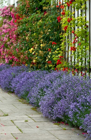Flower bed of lavender and a colorful composition of roses photo