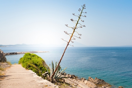 Blossom of agave plant beside a path in front of the mediterranean sea and sun Stock Photo