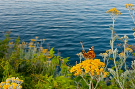 Butterfly  Painted Lady   Vanessa cardui  on yellow flowers in front of the sea
