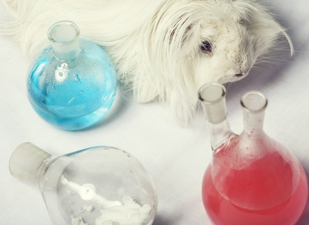 waste products: waste products in laboratory, medicine-glass with colored red and blue liquid close up, guinea pig