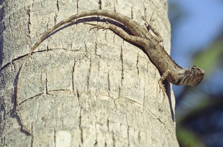 medium close up: medium lizard in wild nature on palm tree close up