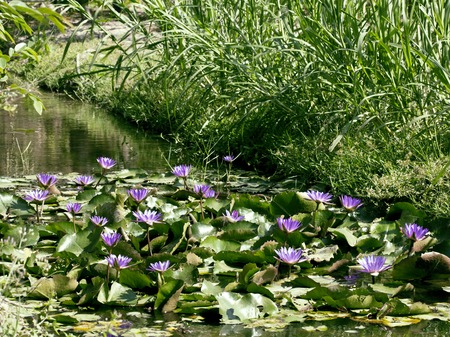 perl: real lake with lotus flowers, wild nature oriental perl