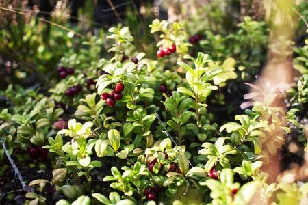 wild lingonberry in nature wild forrest closeup