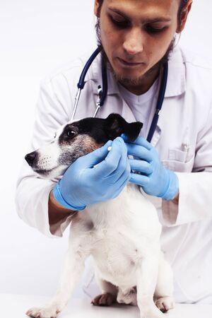 Joven médico veterinario en guantes azules examinar pequeño perro lindo Jack Russell aislado sobre fondo blanco, concepto de salud animal Foto de archivo