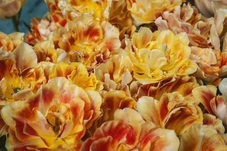bunch of tulip flowers close up for background, flowerbed untypical macro, many petails bright colored closeup