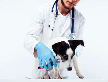 young veterinarian doctor in blue gloves examine little cute dog jack russell isolated on white background, animal healthcare concept Reklamní fotografie