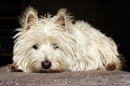 Doleful white terrier. Stock Photo