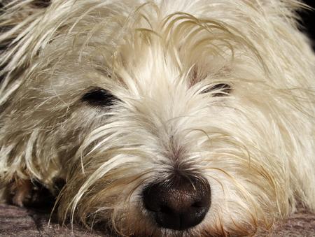 doleful west highland white terrier