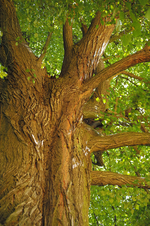 Linden tree with old bark Stock Photo