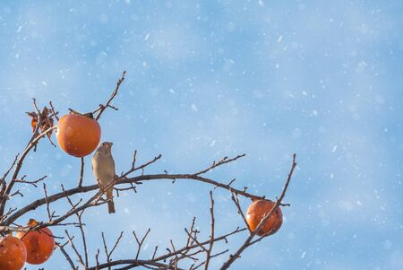 Bird sitting in the winter new year's Park on a branch during the snowfall and eating persimmon
