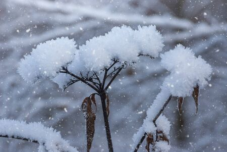 Delicate flower in the frost and snow. Gently frosty natural winter background. Beautiful winter morning. Close up