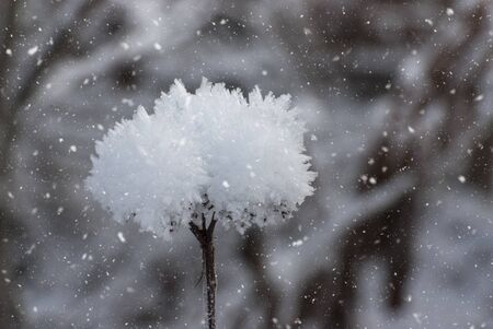 Flower covered with sparkling hoarfrost and snow on a snowy field. Beautiful image of a winter meadow Фото со стока