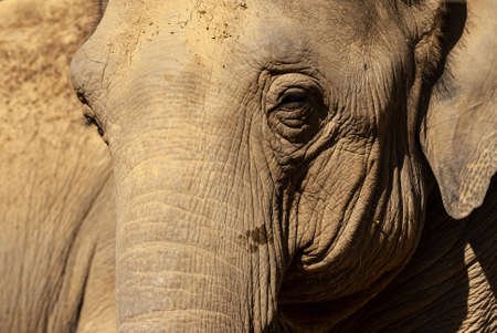 Close up portrait of an elephant. The face of a noble animal. Archivio Fotografico