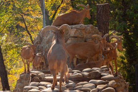The West Caucasian turs, Capra caucasica. beautiful animals.