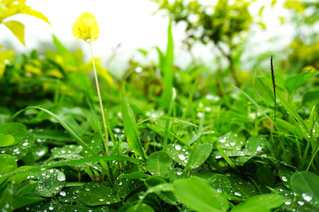 arachis: water drop on leaves Arachis pintoi