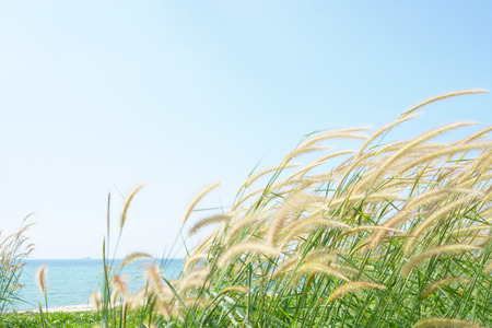 fields of flowers: Imperata cylindrica of Feather grass in nature on the beach