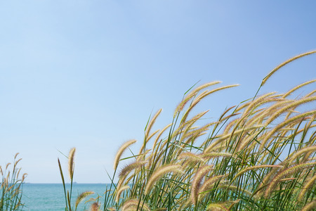 cylindrica: Imperata cylindrica of Feather grass in nature on the beach