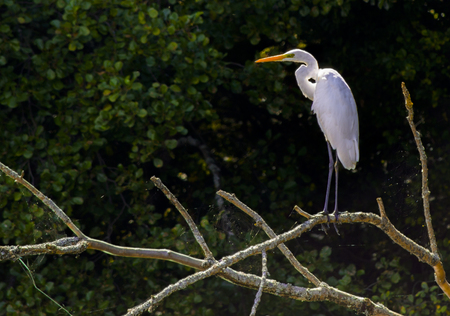 Great egret on thlarge egret or great white herone sky