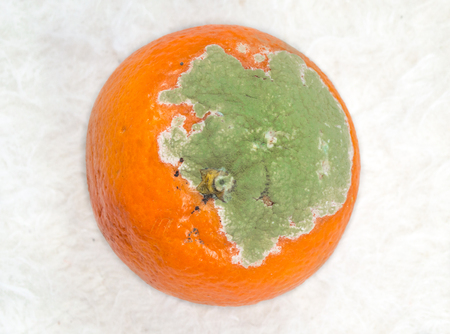 bad color: Moldy orange with white background Stock Photo