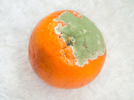 moldy: Moldy orange with white background Stock Photo