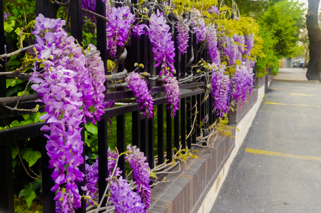 wistaria: Wisteria on metal garden fence with a street view Stock Photo