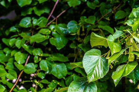 linden tree: Fresh Blooming Linden Tree Stock Photo