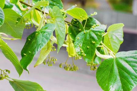 tilo: Fresca Blooming árbol del tilo