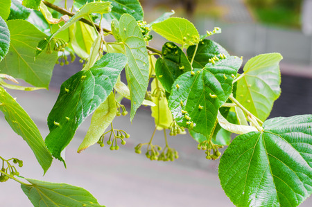 linden: Fresh Blooming Linden Tree Stock Photo