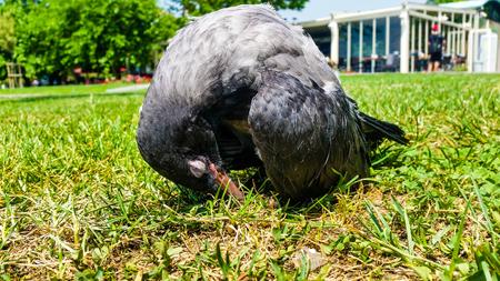 alicaído: Crow joven descansando en el pasto