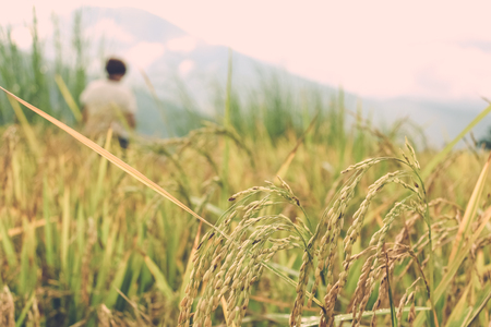 Close up of rice crops in a field near Thimphu, Bhutan, Asia. Blurry woman figure on the background.