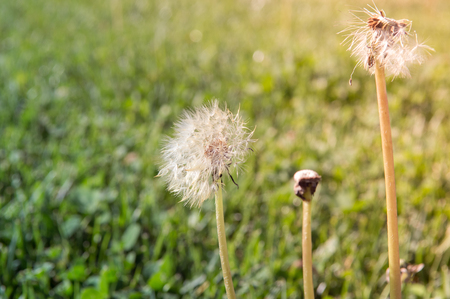 Selective focus on dandelion flowers on a nature background.  Springtime in meadow.