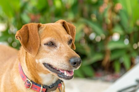 Close up portrait of brown pincher dog standing in the garden with green foliage. Stock Photo