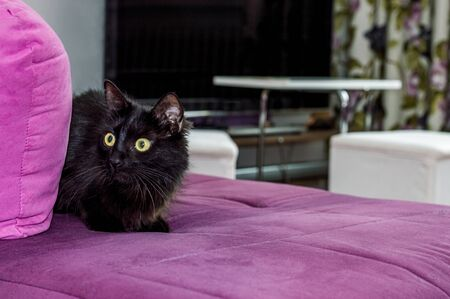 Frightened young black cat with green eyes hiding on the armchair in the living room. Stock Photo