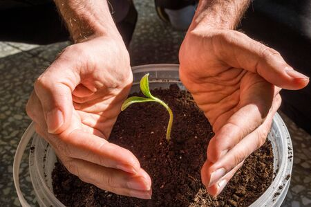 Close up of male hands protecting young pumpkin seedling growing in a pot in a balcony. New life and protection concept. 版權商用圖片